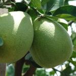 Le pomelo à l'écorce verte